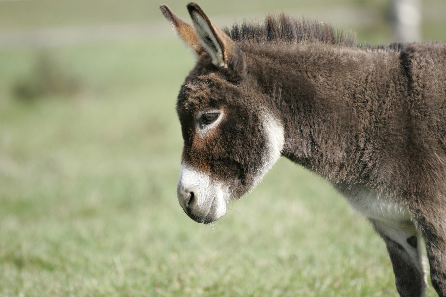 Miniature Donkeys for sale in the UK - Wellground Miniature Donkeys