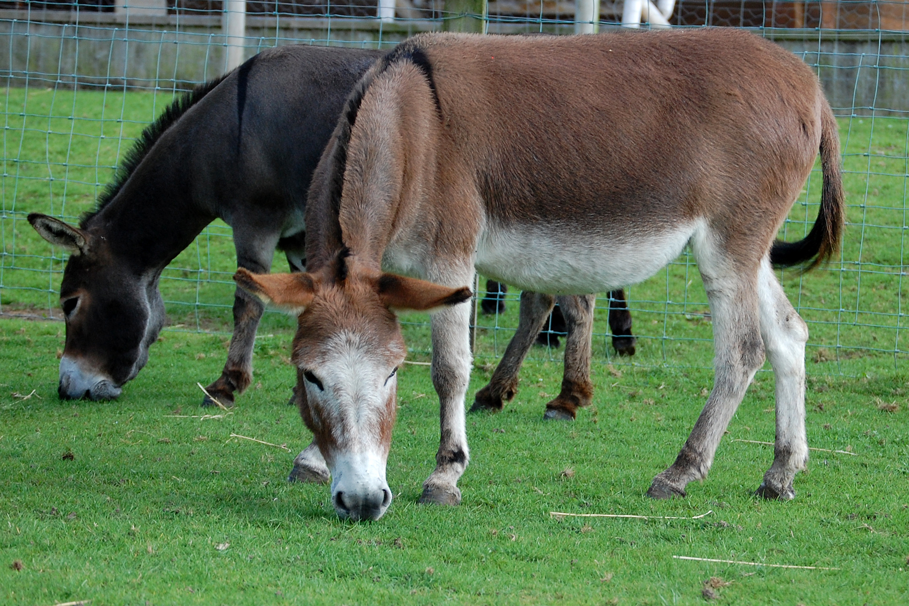 Wellground Miniature Donkeys