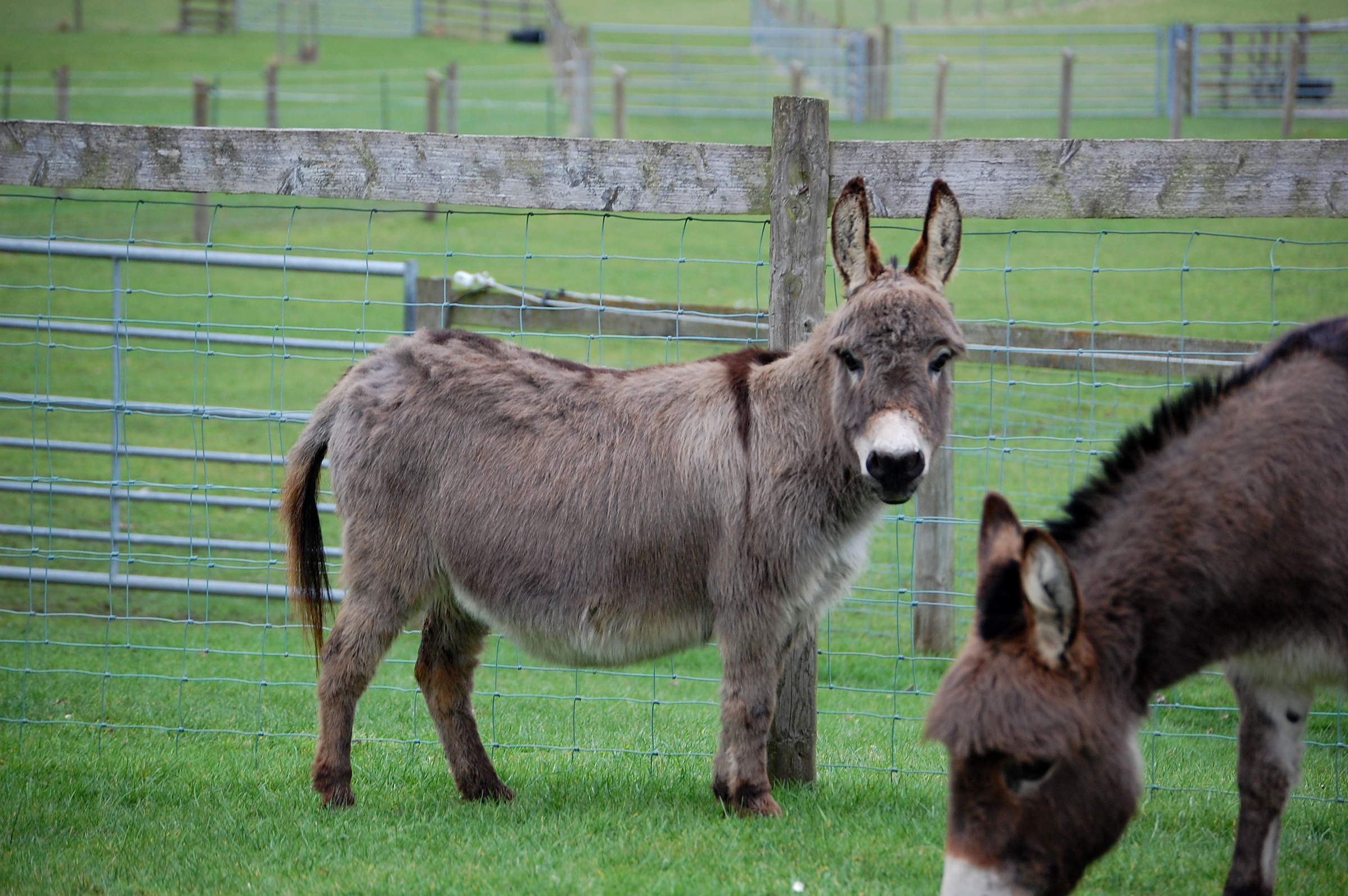 Pixie Dust from Wellground Miniature Donkeys