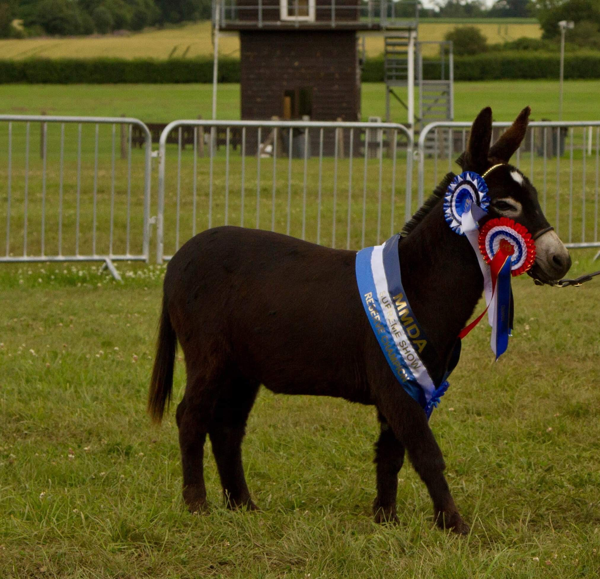 Miniature Donkey Stallion Bling, from Wellground Miniature Donkeys