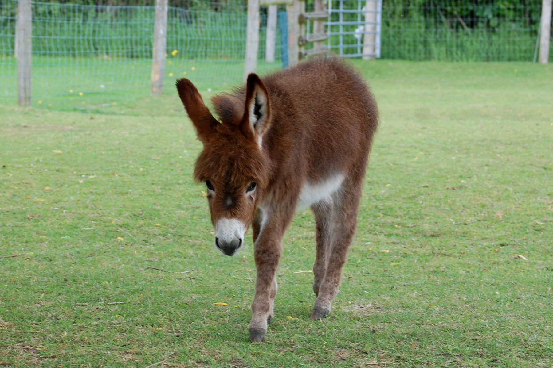 Miniature Donkey foal, Wellground Miss Moneypenny