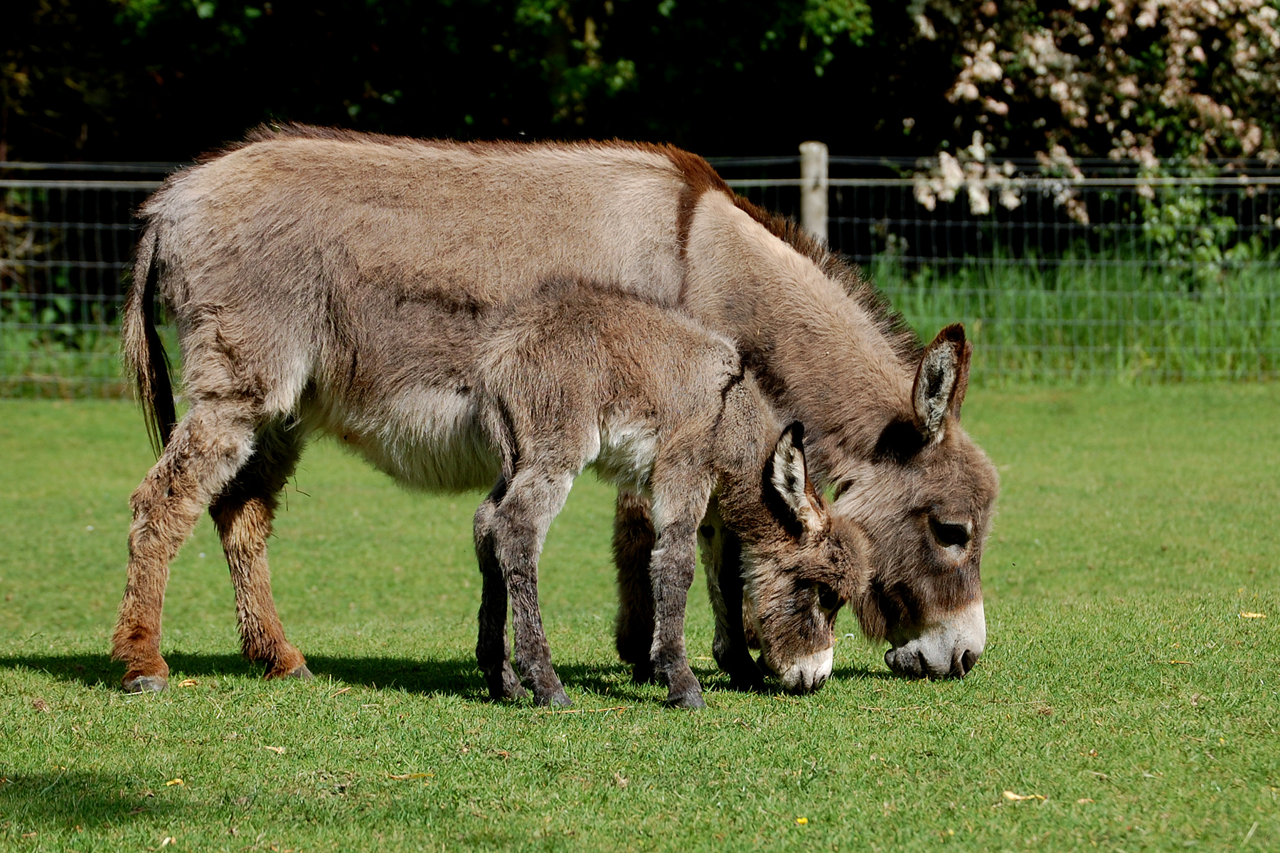 Miniature Donkey foal, Wellground Tiny Tease